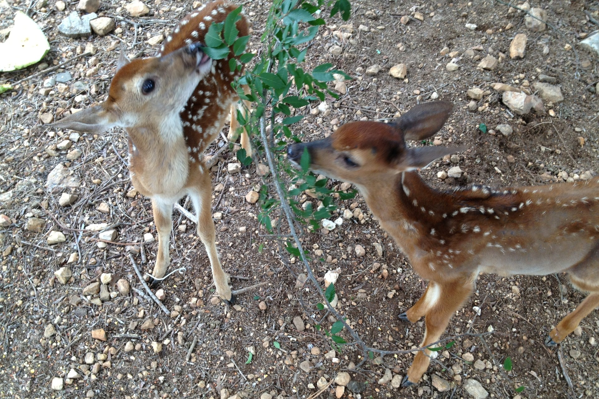 Baby Deer at Pine Knot Cabins